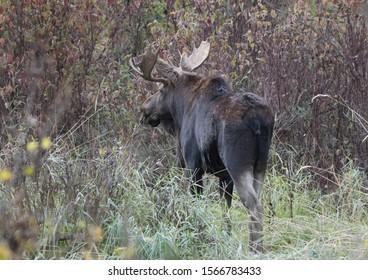 Bull moose walking away in the woods