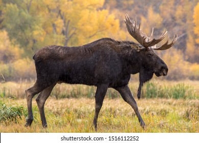 bull moose walking in the rain