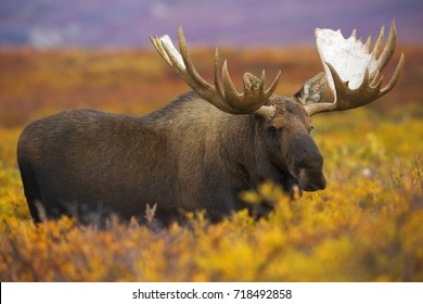 A bull moose wanders across the fall colored tundra of Denali National Park and Preserve, Alaska