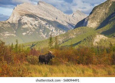 A bull moose wanders through the Vermillion Lakes in Banff National Park, Alberta.