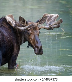 Bull Moose in water wetland pond lake river, Glacier National Park, Montana.  Trophy big game hunting season maine