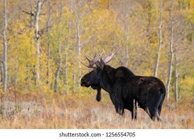 Bull Moose in the Wild