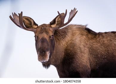 Bull Moose in Winter. In Chugach State Park in Anchorage, Alaska