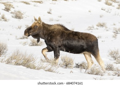 Bull moose, without antlers, walking on deep snow in winter