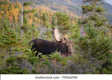 A bull moose in the woods of Maine.