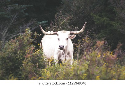 bull outdoor nature