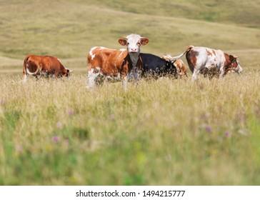Bull pasture farm. Cattle grazing in field.