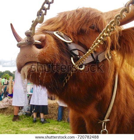 Bull Ring Nose Country Fair Stock Photo Edit Now 720782488