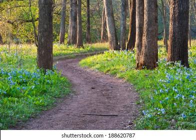 Bull Run Occoquan National Recreational Trail during the Spring Seasonal Virginia Bluebell Wildflower Blossom