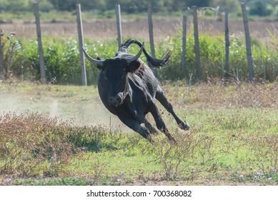 Bull running, charging bull in Camargue