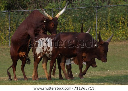 Секс коров