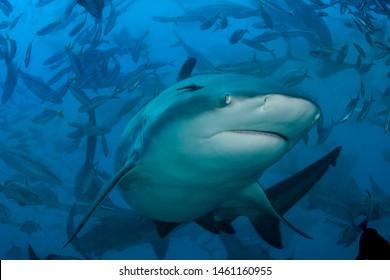 Bull shark approaches during a feeding frenzy (Carcharhinus leucas).