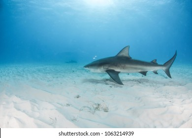 Bull Shark at Bimini Island, Bahamas