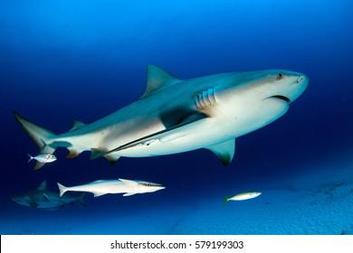 Bull Shark Images, Stock Photos & Vectors | Shutterstock