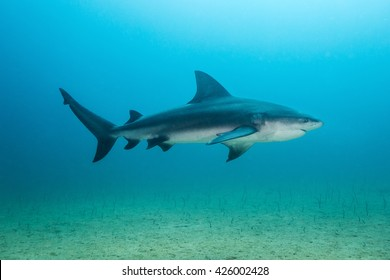 Bull shark at Cabo Pulmo National Park, Baja