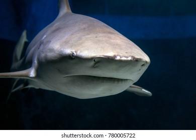 Bull Shark in Captivity