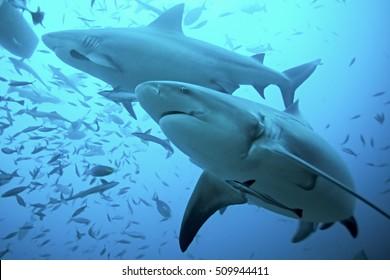bull shark, carcharhinus leucas, Bega lagoon, Fiji