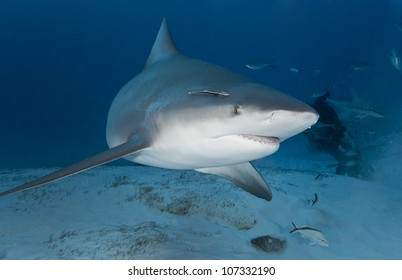 Bull shark (Carcharhinus leucas) in deep water
