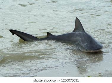 A bull shark caught on the shore, and released back in the bay