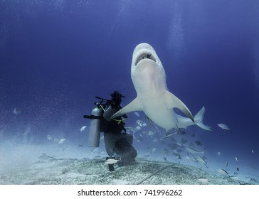 Bull shark close up during a shark feed dive, Playa del Carmen, Mexico.