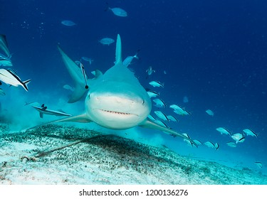 Bull shark close up, Playa del Carmen, Mexico.