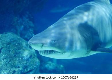 Bull Shark, Shark Fish, Marine Fish Underwater