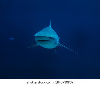 Bull shark frontal view underwater isolated at blue background.