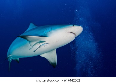 bull shark ready to attack in the blue ocean background in mexico