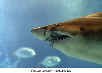 Bull shark underwater mouth teeth jaws close up detail