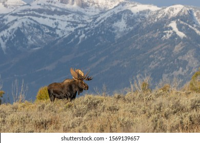 Bull shirts Moose in Autumn in Wyoming