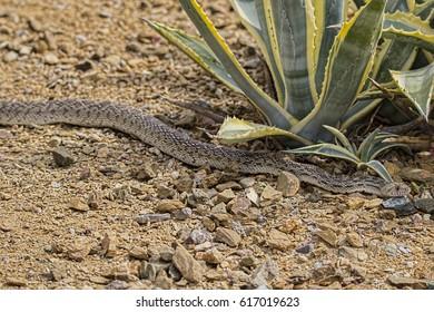 Bull Snake in the Arizona Desert