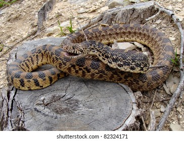 Bull Snake, Pituophis catenifer sayi hissing