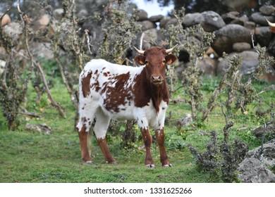 bull in spain - Shutterstock ID 1331625266