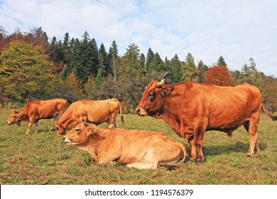 Bull standing beside cows on alpine meadow