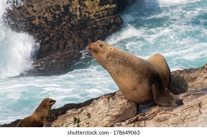 Bull Steller Sea Lion with California Sea Lion Yearling
