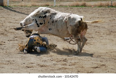 Bull stepping on cowboy
