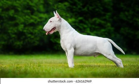 Bull Terrier Images, Stock Photos & Vectors   Shutterstock