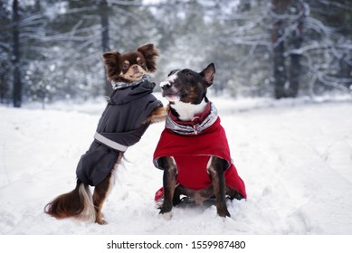 bull terrier and chihuahua dogs posing in winter together - Shutterstock ID 1559987480