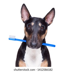 bull terrier dog holding a toothbrush with mouth , isolated on white background