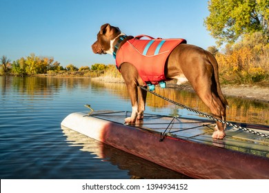 bull terrier dog in life jacket on a stand up paddleboard