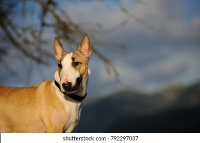 Bull Terrier dog outdoor portrait against blue sky and branches