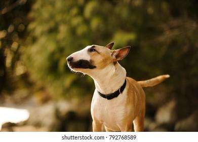 Bull Terrier dog outdoor portrait in nature