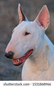 Bull Terrier Female dog foreground looking at camera