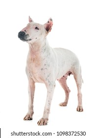 bull terrier in front of white background