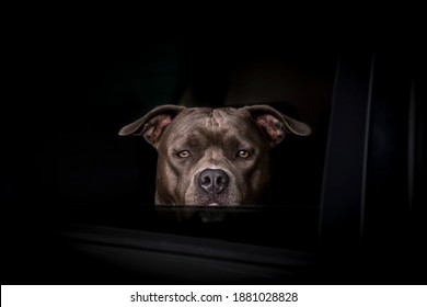 bull terrier guarding in the car. Dog looking from the window