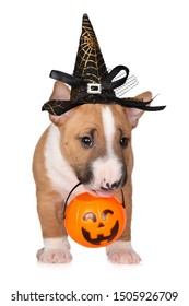 bull terrier puppy posing for Halloween on white background
