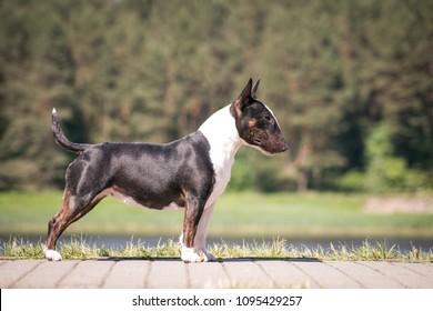 Bull terrier show dog posing. Mini bullterrier.