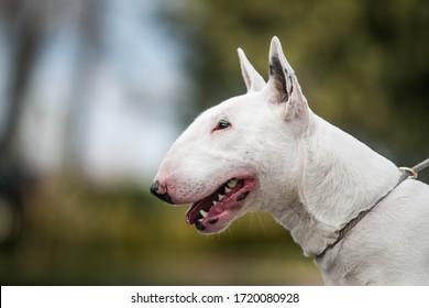 Bull terrier show dog posing outside. Standart bullterrier standing.