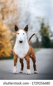 Bull terrier show dog posing. Dog portrait outside.
