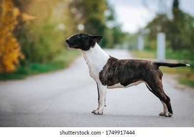 English Bull Terrier Images Stock Photos Vectors Shutterstock